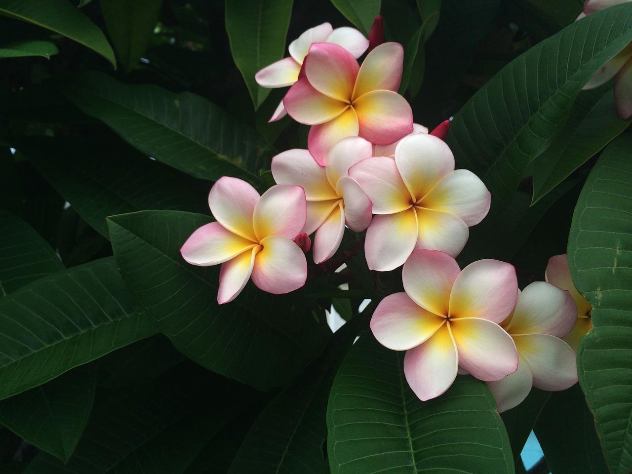 frangipani, holiday, hawaii